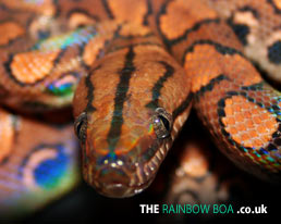 The Rainbow Boa - Brazilian Rainbow Boa Desktop Wallpaper