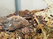 Brazilian Rainbow Boa coiled and hiding in moss