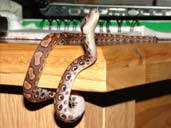 Brazilian Rainbow boa looking up. Underside shown
