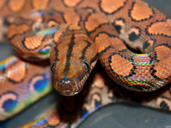 Brazilian Rainbow Boa Coiled showing rainbow colours