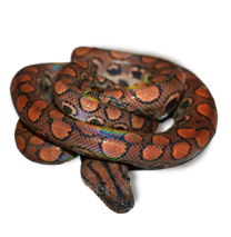 Brazilian Rainbow Boa Caresheet - Click to open Care Sheet