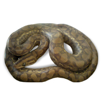 Columbian Rainbow Boa Caresheet - Click to open Care Sheet