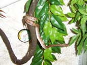 Columbian Rainbow Boa climbing on a vine
