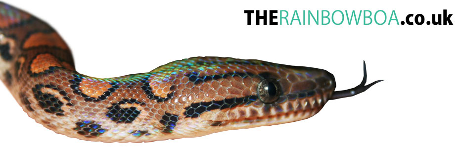 The Rainbow Boa  - The place to find Rainbow Boa information on the internet!